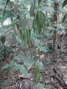 Planta trepadora de vainilla